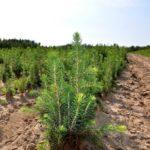 Работы по искусственному лесовосстановлению провели в Алтайском крае
