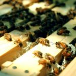Устройство для обработки пчел хвойной мукой при лечении варроатоза запатентовали ученые Алтайского ГАУ